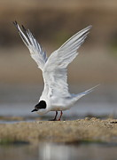 Tern Originals - Lovely Tern  by Mona Pirih