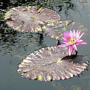 Lilli Prints - Lovely Water Lilies Print by Esther Juni