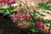 Bleeding Hearts Photos - Loves lies bleeding... by David Bearden