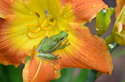 Frogs - Lovin The Rains by Kathy Gibbons