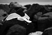 Duluth Art - Low-Flying Seagull by Shutter Happens Photography