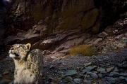 Leopard Hunting Prints - Low-light Vision Allows Snow Leopards Print by Steve Winter