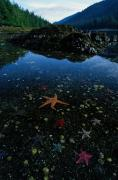 Low Tide Reveals A Galaxy Of Bat Stars Print by Raymond Gehman