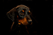 Dobermann Framed Prints - Loyal Face Framed Print by Malania Hammer