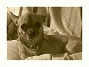 Chihuahuas Posters - Loyalty At Its Best Poster by Amanda Vouglas