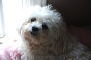 Maltese Puppy Photos - Loyalty by Lisa  DiFruscio