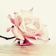 Rose Art - Lucid by Priska Wettstein
