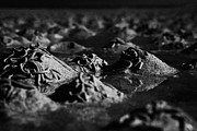 Flooding Prints - Lugworm Arenicola Marina Casts On Mudflats In Strangford Lough County Down  Print by Joe Fox