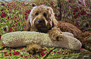 Toy Dog Posters - Luke with his bone - Golden Doodle Poster by Madeline Ellis