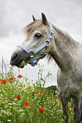 Angela Doelling AD DESIGN Photo and PhotoArt - Lulu in the poppy field