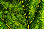 Backlit Framed Prints - Luminescent Leaf Framed Print by Matt Dobson
