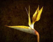 Botanica Art - Luminous Bird of Paradise by George Oze
