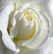 White Rose Posters - Luminous Ivory Rose Poster by Jennie Marie Schell