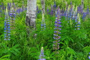 Blue Flowers Posters - Luminous Lupines and Aspen Trunk Poster by Thomas Schoeller