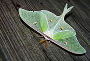 Luna Metal Prints - Luna Moth Metal Print by Amber Flowers