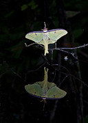 Wildlife Insect Posters - Luna Moth and Reflection Poster by Bill Swindaman