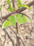 Luna Drawings - Luna Moth by Courtney Trimble