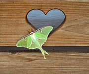 Flowers Pyrography Prints - Luna Moth in Love Print by The Kepharts