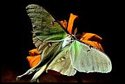 Lincoln City Prints - Luna Moth Print by Karen M Scovill