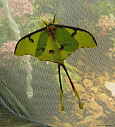 Ebsq Photo Prints - Luna Moth Print by Kimmary I MacLean