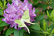 Luna Art - Luna Moth on Rhododendron 1 by Douglas Barnett