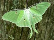 Luna Art - Luna Moth by Serina Wells