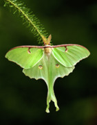 Luna Moth Posters - Luna Moth Spreading its Wings. Poster by Daniel Cadieux