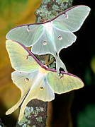 Worm Prints - Luna Moths Print by Millard H Sharp and Photo Researchers