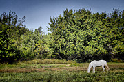 Grazing Horse Posters - Lunch Break Poster by Chris  Mautz