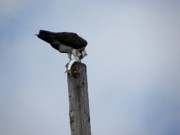 Preditor Photos - Lunch on a Telephone Pole by Patricia Bigelow