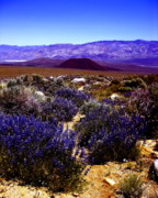 Eastern Sierra Prints - Lupin at Taboose Creek Trail Print by Tina Slee