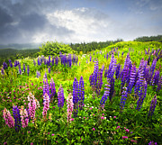 Field. Cloud Posters - Lupin flowers in Newfoundland Poster by Elena Elisseeva