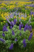 Balsamroot Framed Prints - Lupine and Balsamroot Framed Print by Greg Vaughn - Printscapes