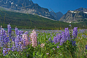 Many Glacier Prints - Lupine Are Bloomin Print by Katie LaSalle-Lowery
