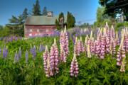 Special Event Posters - Lupine Barn Poster by Susan Cole Kelly