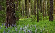 Fir Trees Photo Originals - Lupine Carpet by Mike  Dawson