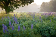 New Hampshire Photos - Lupine Field by Susan Cole Kelly