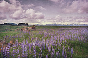 Field. Cloud Posters - Lupine In Alaska Wilderness Poster by Dagny Willis