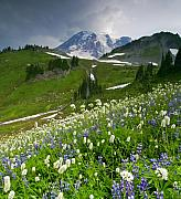 Mt Rainier Photos - Lupine Storm by Mike  Dawson
