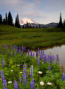 Mt Rainier Framed Prints - Lupine Sunrise Framed Print by Mike  Dawson