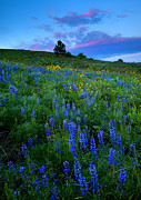 Hillside Posters - Lupine Sunset Poster by Mike  Dawson