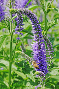 Sandi Blood - Lupines and Bees