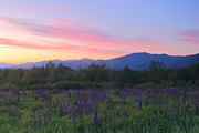 Lafayette Posters - Lupines and Mount Lafayette at Sunrise Poster by John Burk