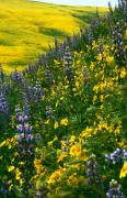 Lupins Prints - Lupins And Daisys Print by Gary Brandes