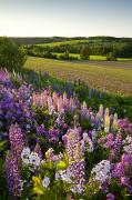 Out-of-door Prints - Lupins And Phlox Flowers, Clinton Print by John Sylvester