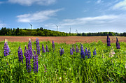 Lupins In A Field Print by Matt Dobson