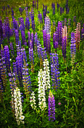 Lush Green Art - Lupins in Newfoundland meadow by Elena Elisseeva