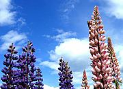 Lupins Prints - Lupins Print by Will Borden