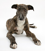 Lurcher Photo Posters - Lurcher Dog Poster by Mark Taylor