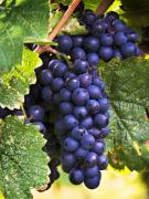 Blue Grapes Posters - Luscious Grape Cluster Poster by Marion McCristall